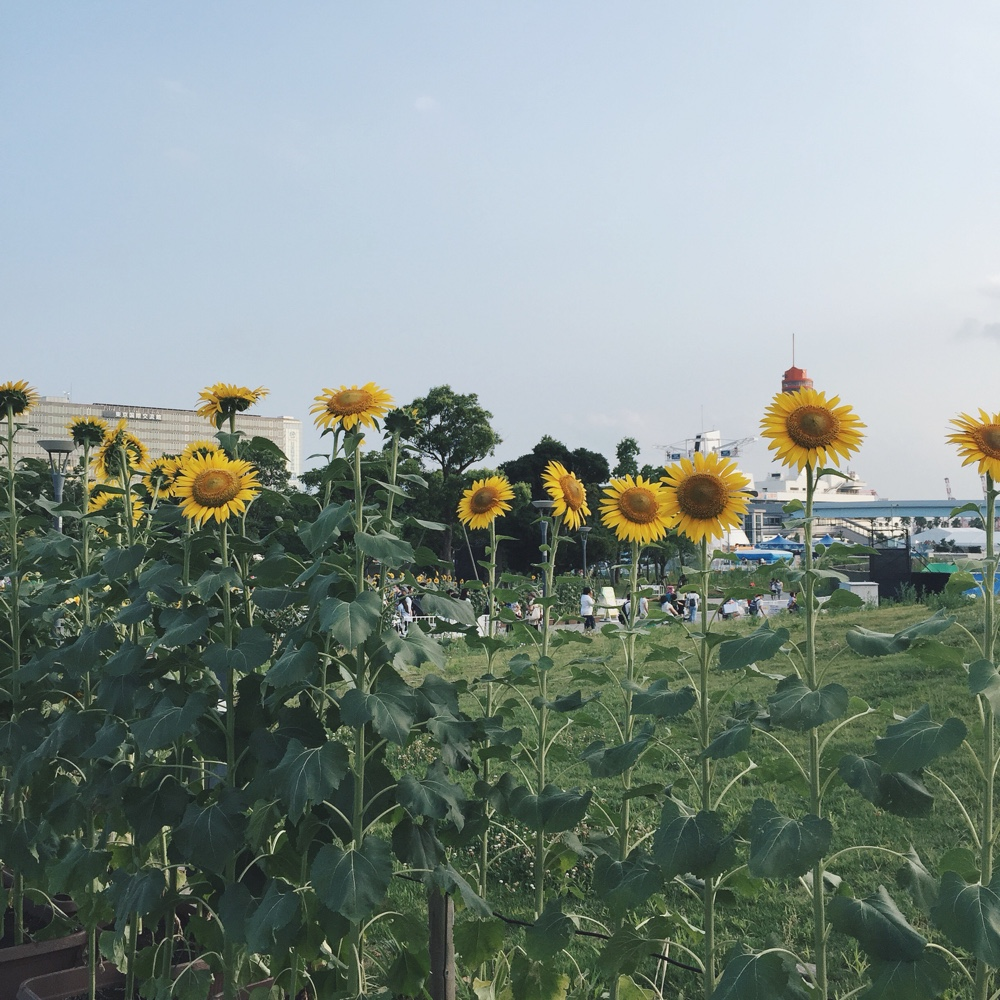 himawari-sunflowers.jpg