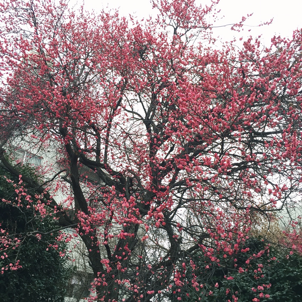 plum-blossoms.jpg