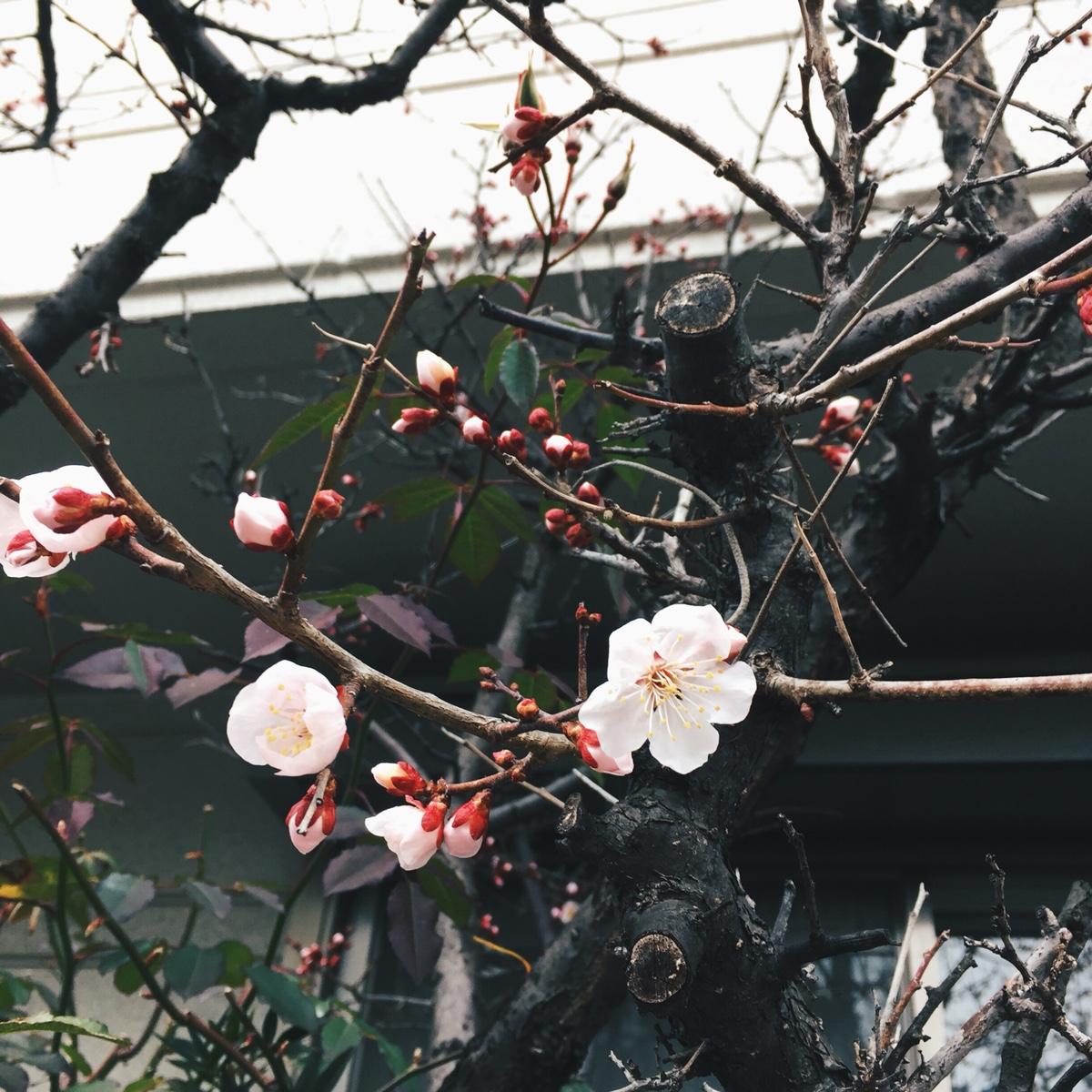 plum-blossom.jpg