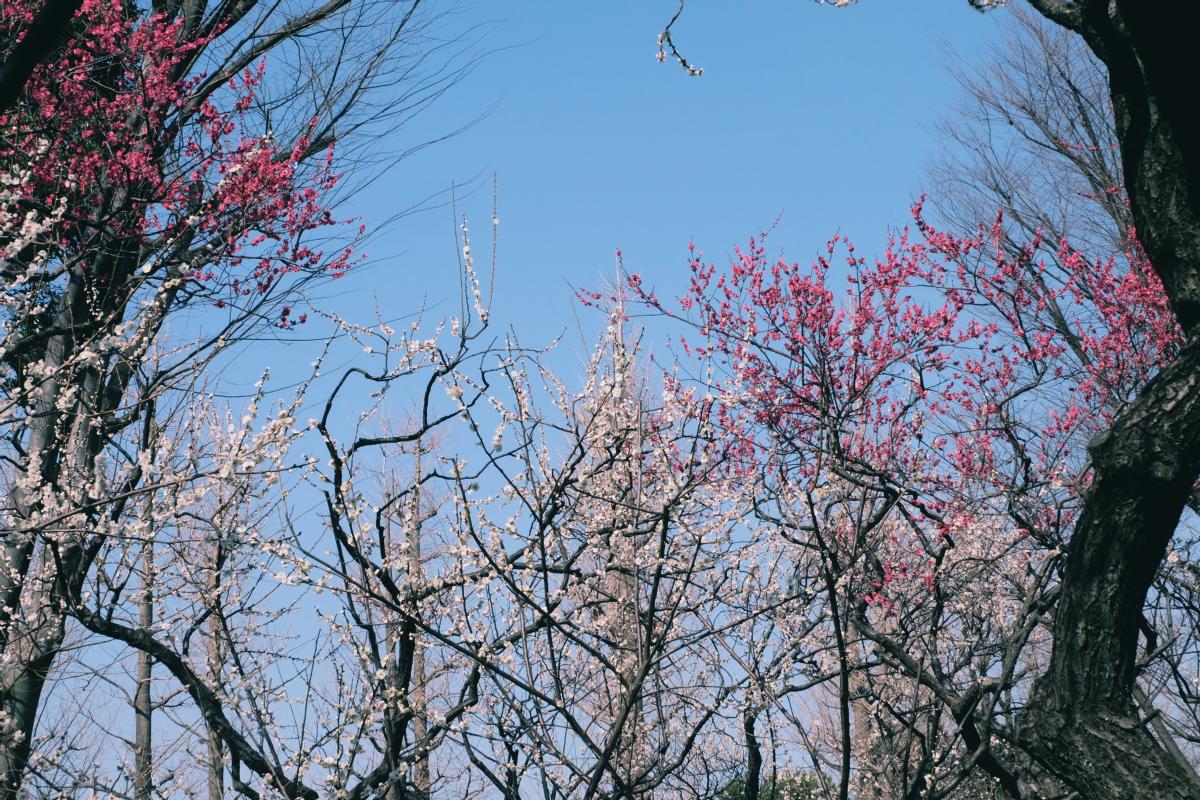 tokyo plum blossom viewing ume shimokitazawa 12