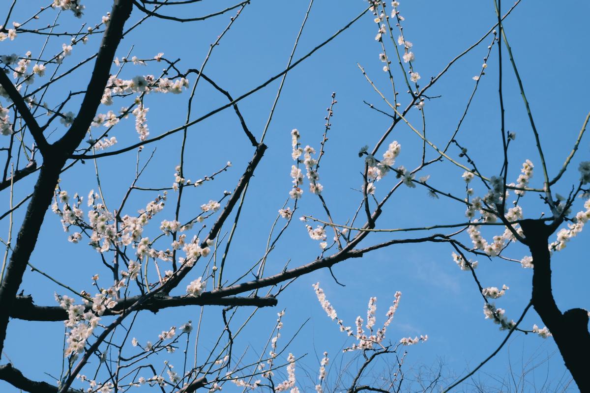 tokyo plum blossom viewing ume shimokitazawa 13