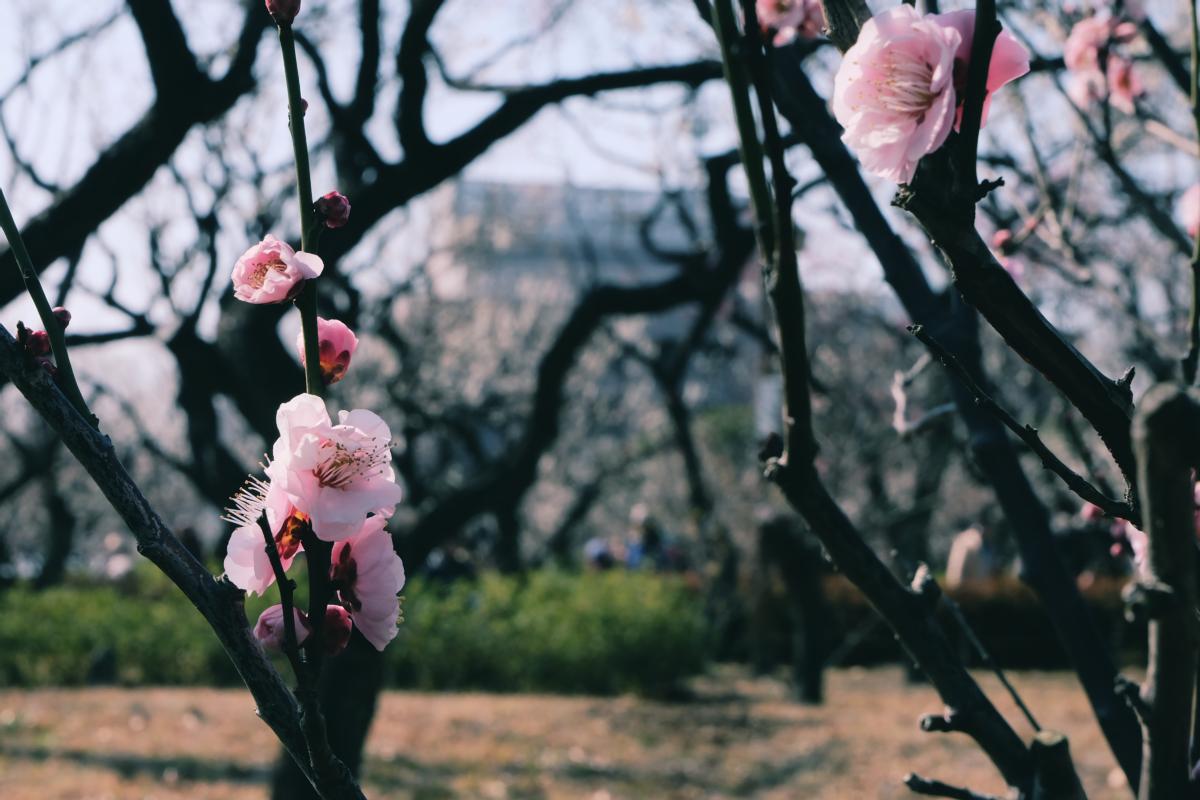 tokyo plum blossom viewing ume shimokitazawa 15