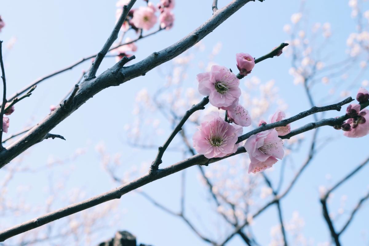tokyo plum blossom viewing ume shimokitazawa 16