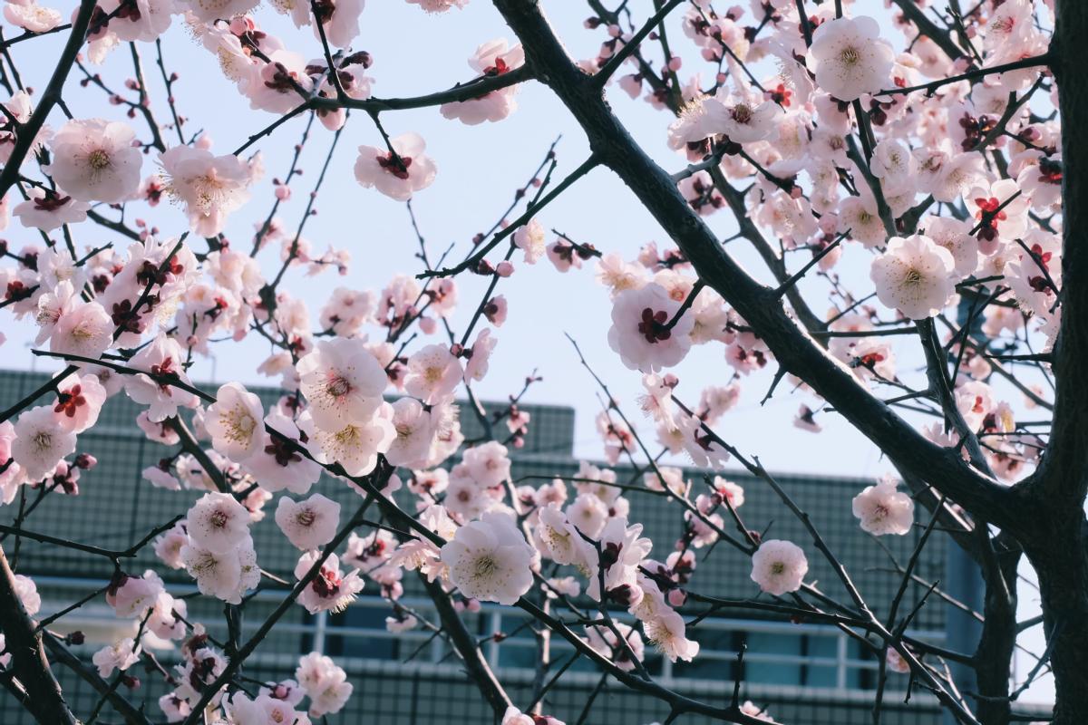 tokyo plum blossom viewing ume shimokitazawa 20