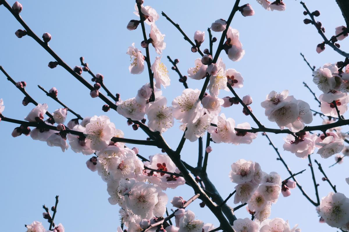 tokyo plum blossom viewing ume shimokitazawa 22