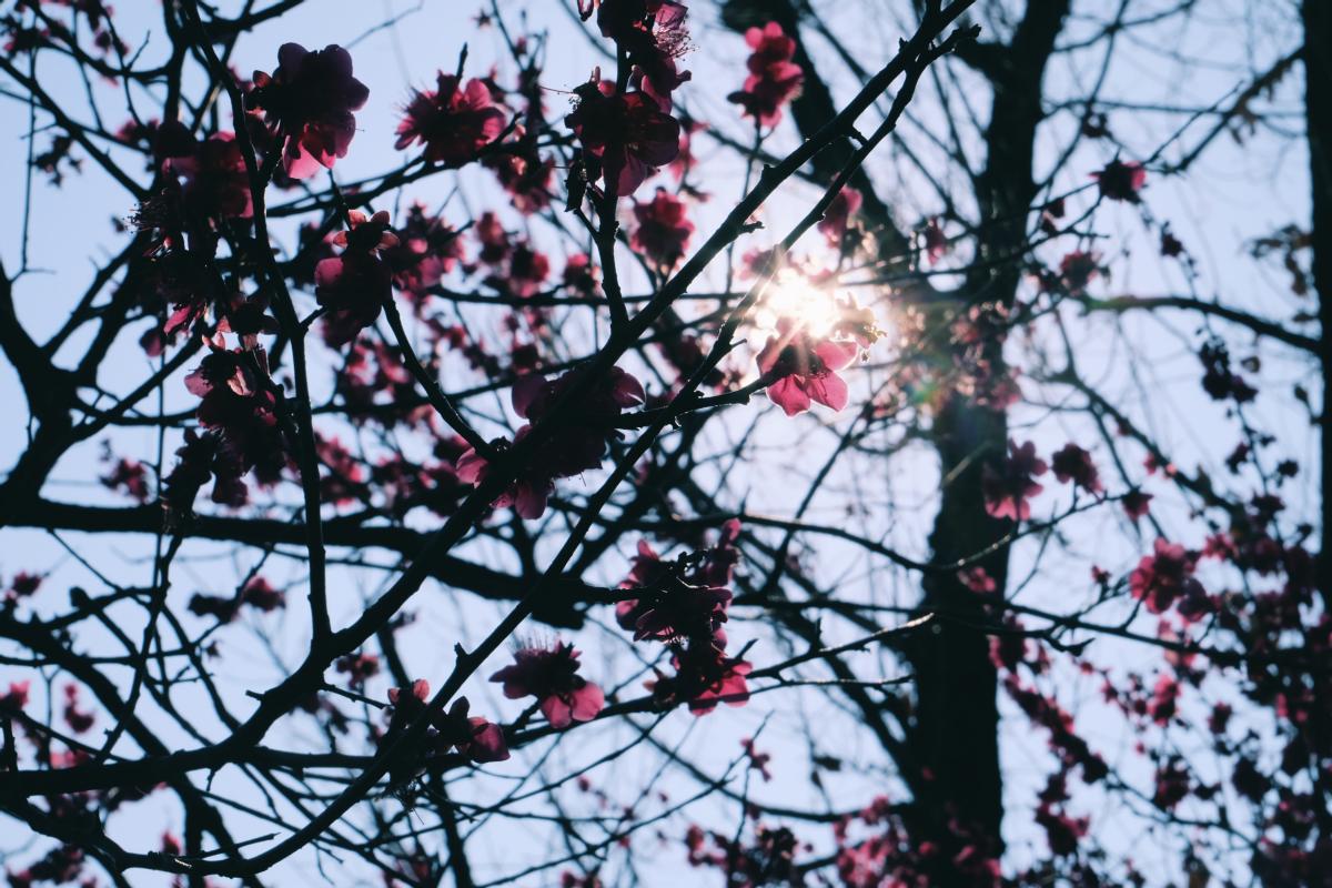 tokyo plum blossom viewing ume shimokitazawa 23