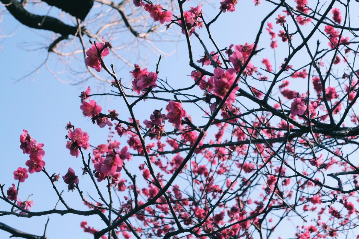 tokyo plum blossom viewing ume shimokitazawa 24