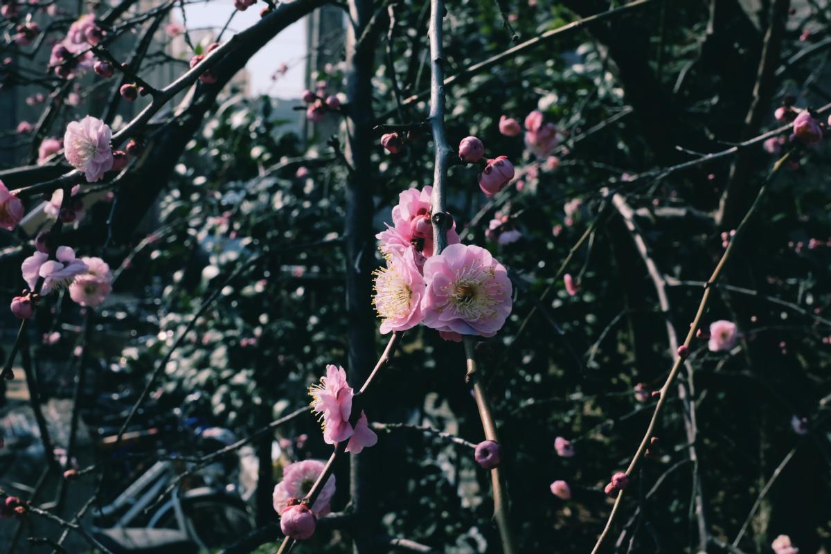 tokyo plum blossom viewing ume shimokitazawa 25