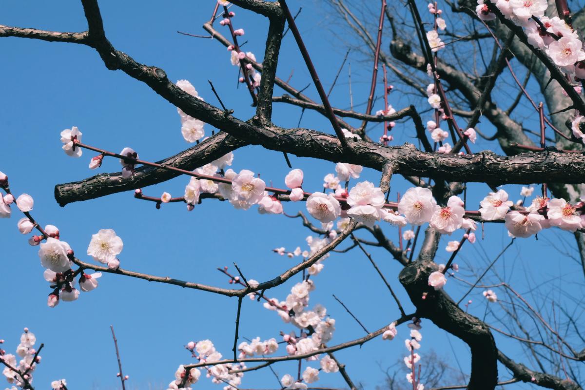 tokyo plum blossom viewing ume shimokitazawa 26