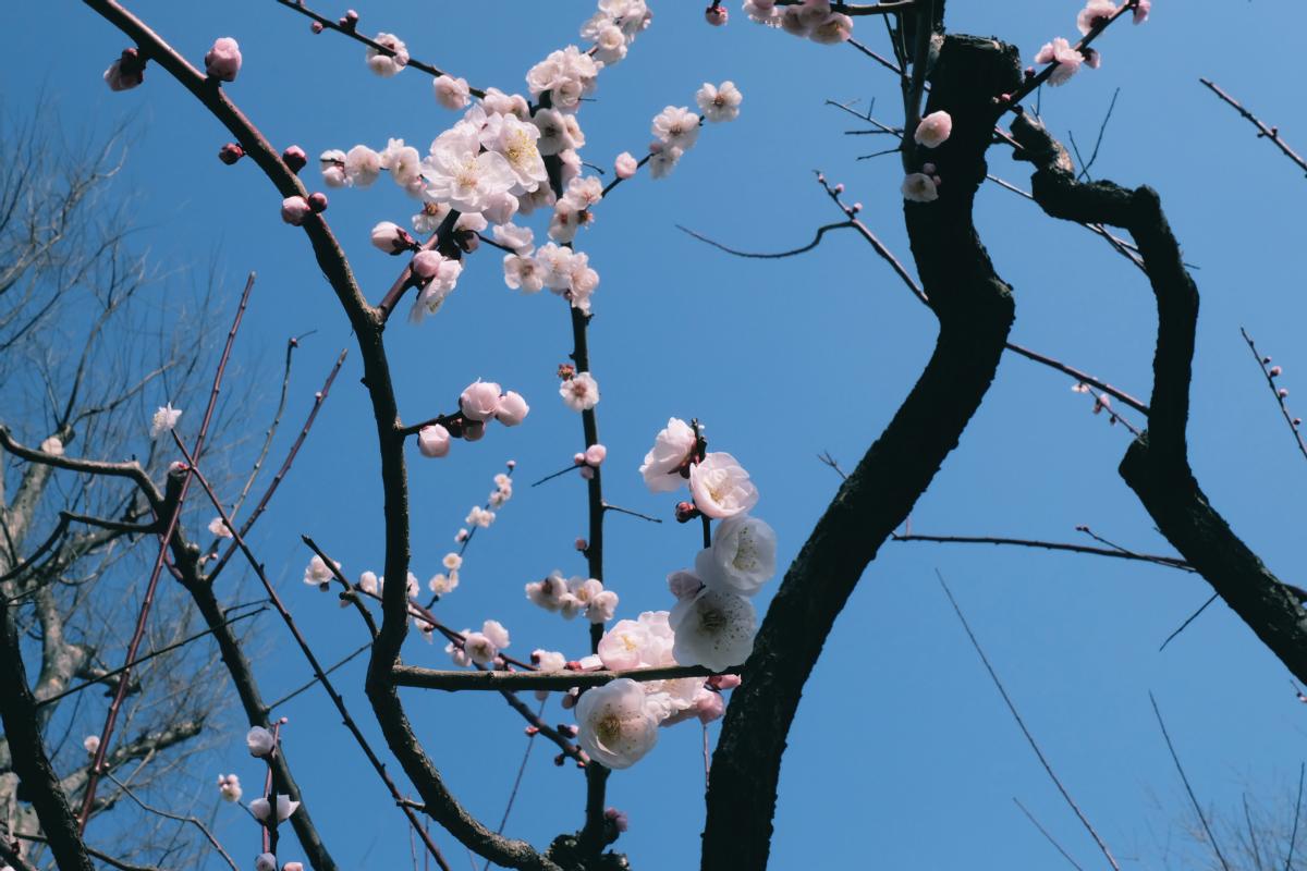 tokyo plum blossom viewing ume shimokitazawa 28