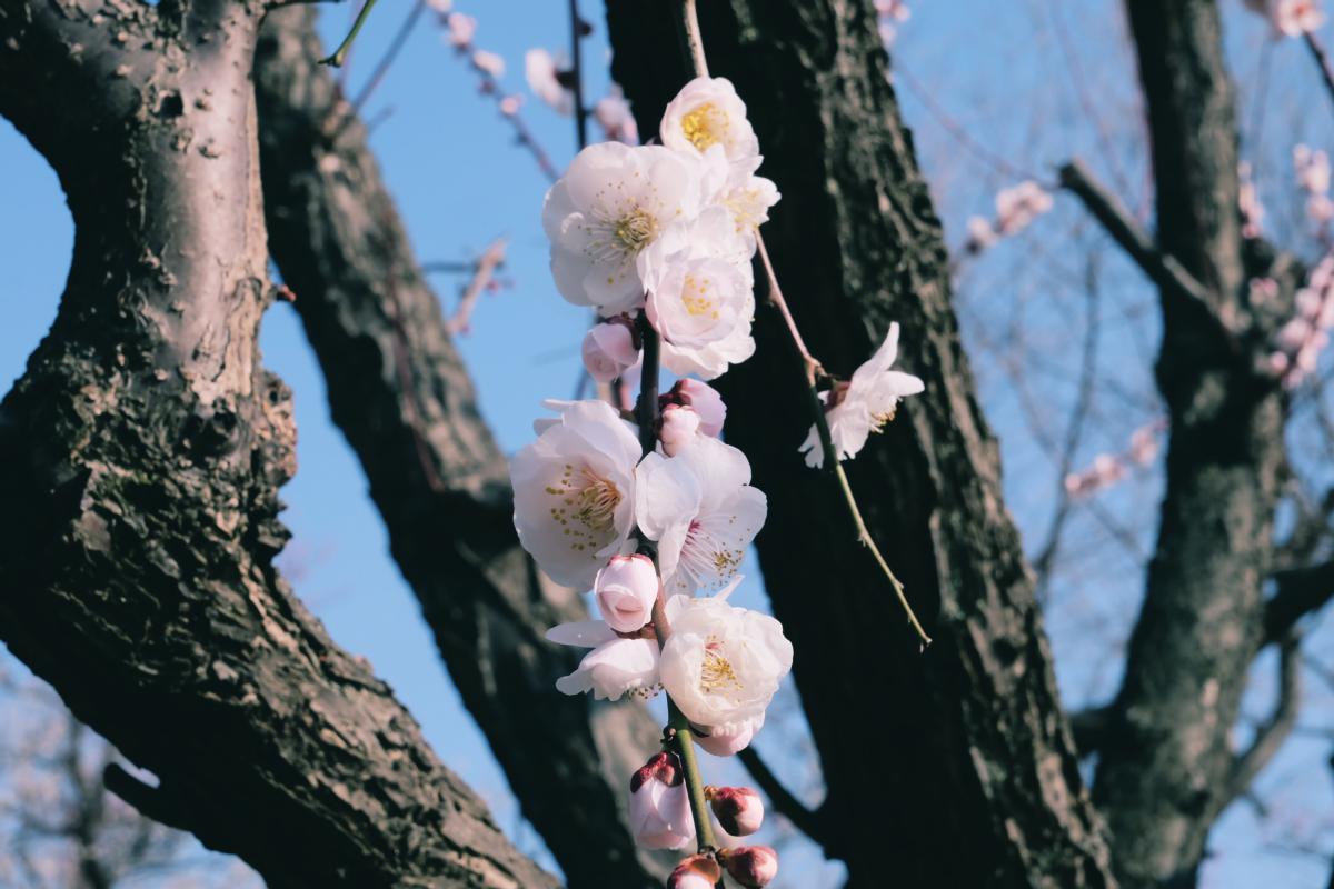 tokyo plum blossom viewing ume shimokitazawa 29