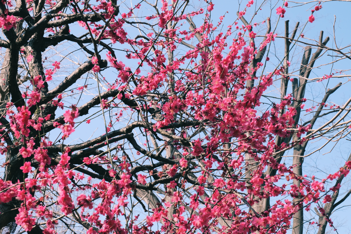 tokyo plum blossom viewing ume shimokitazawa 36