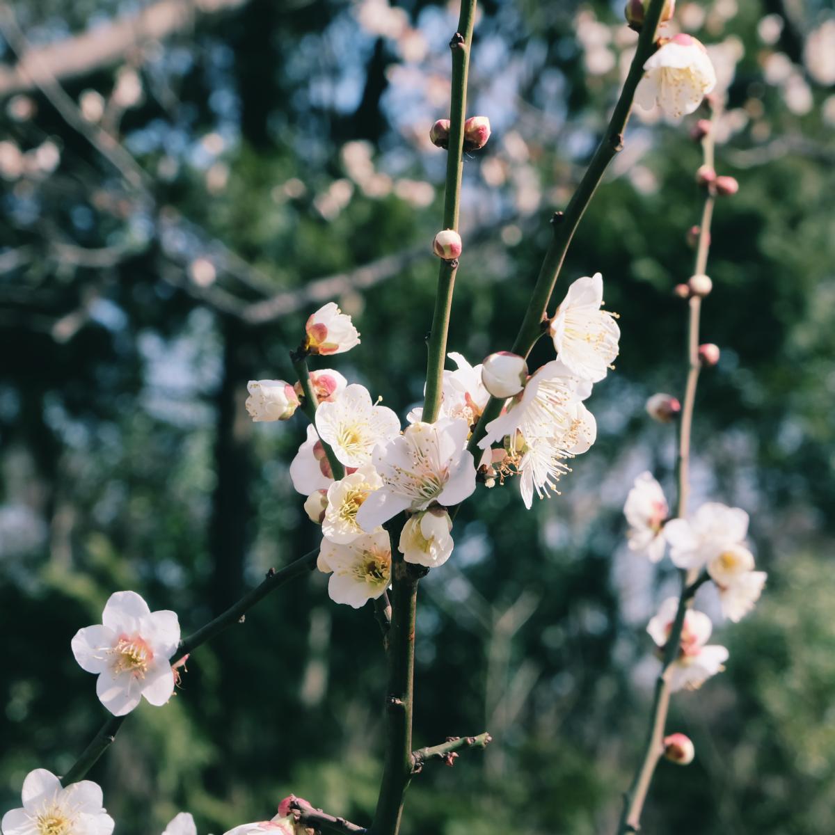 tokyo plum blossom viewing ume shimokitazawa 6
