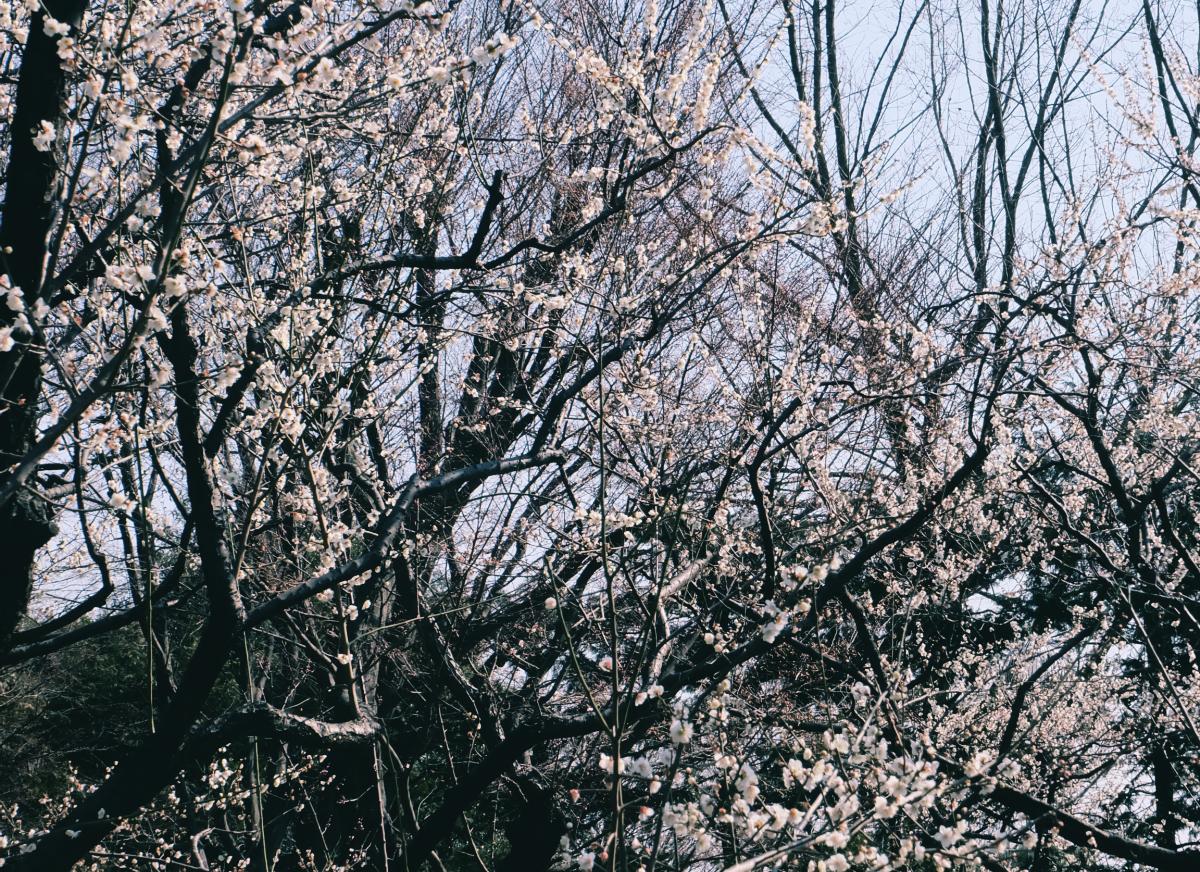 tokyo plum blossom viewing ume shimokitazawa 8