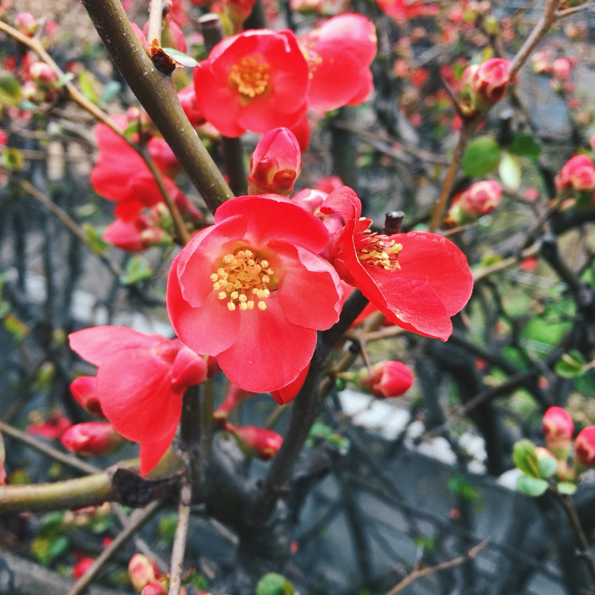 red-sakura.jpg