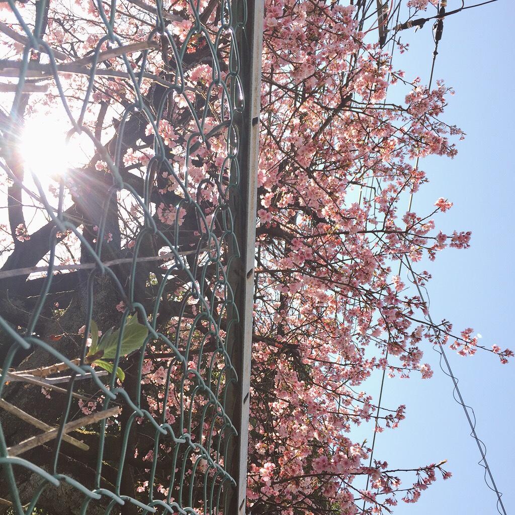 sakura-flowers.jpg