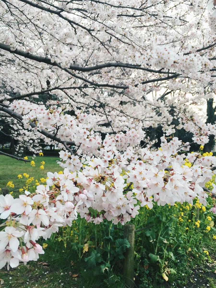 koganei-park-sakura.jpg
