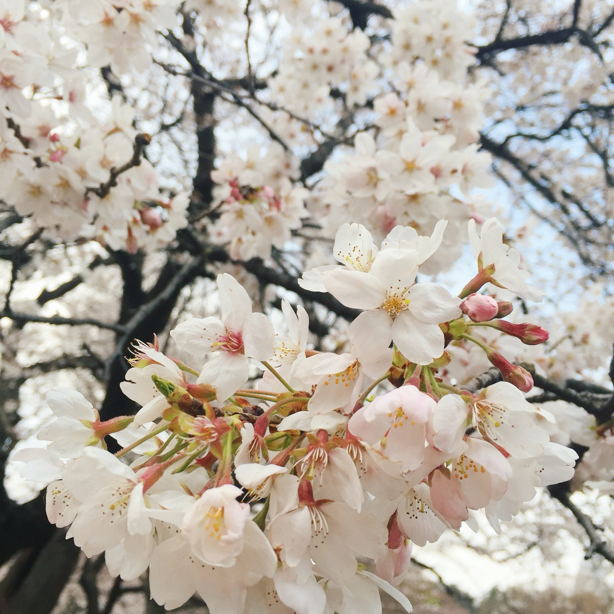 sakura-yoyogi-park.jpg