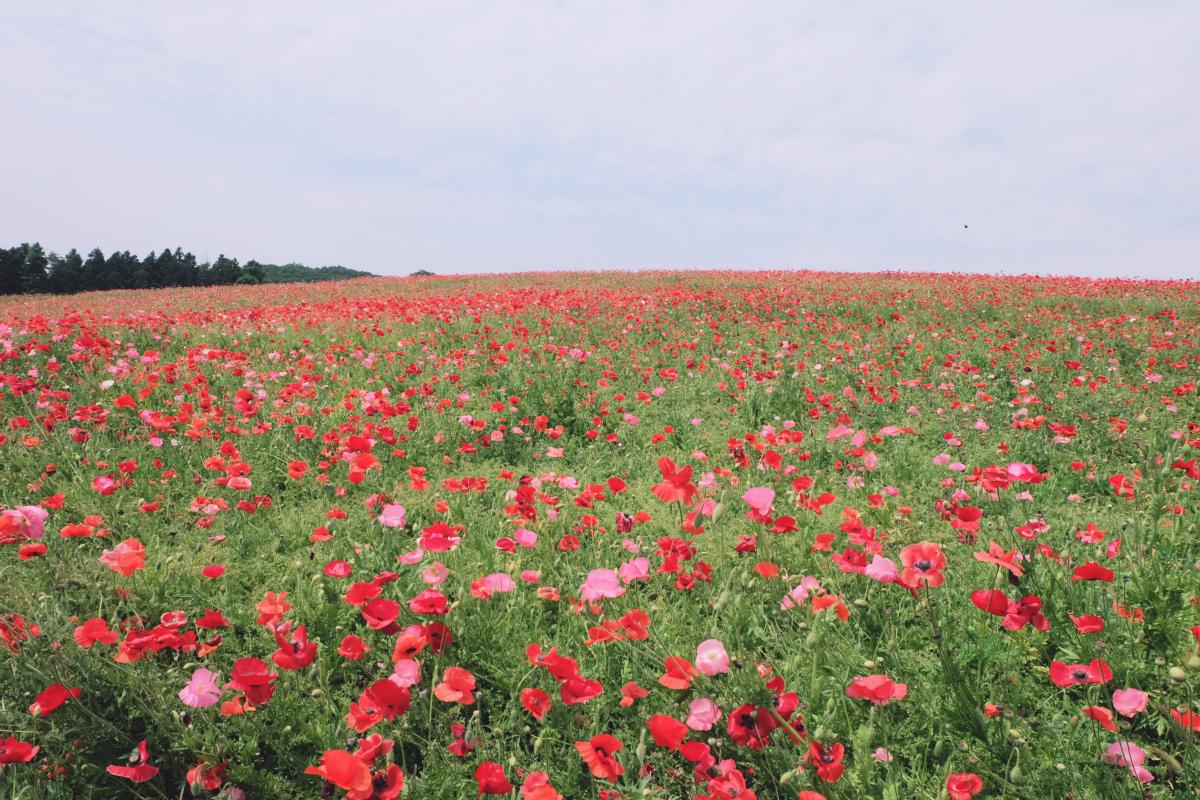 DSCF4671 chichibu poppy flowers 2016 saitama