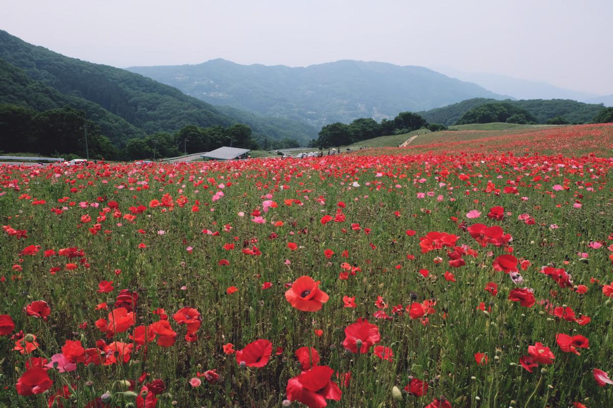 DSCF4690 chichibu poppy flowers 2016 saitama
