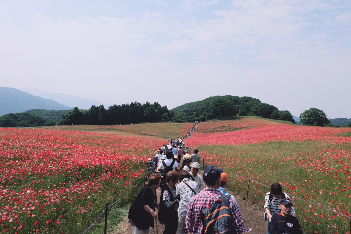DSCF4698 chichibu poppy flowers 2016 saitama