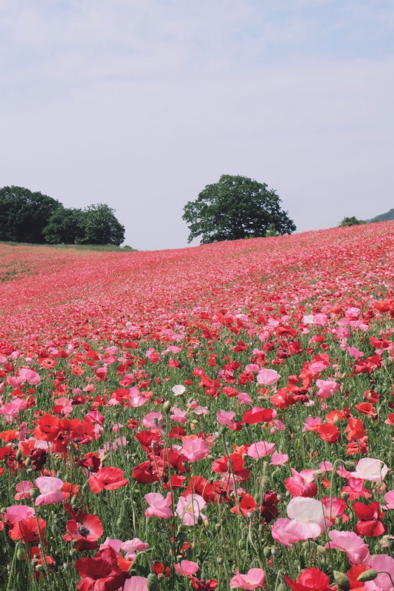 DSCF4707 chichibu poppy flowers 2016 saitama