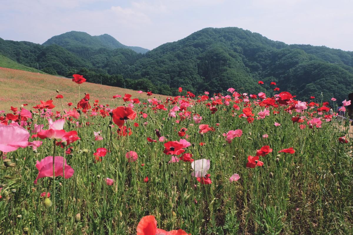 DSCF4717 chichibu poppy flowers 2016 saitama