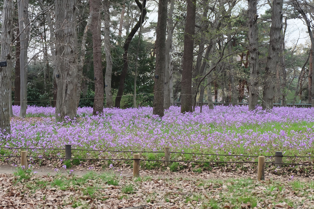 Edo Tokyo Museum Cherry Blossoms 60