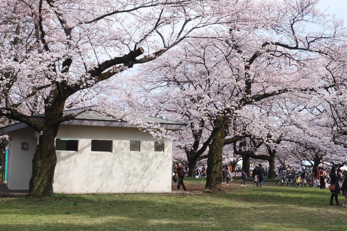 Edo Tokyo Museum Cherry Blossoms 71
