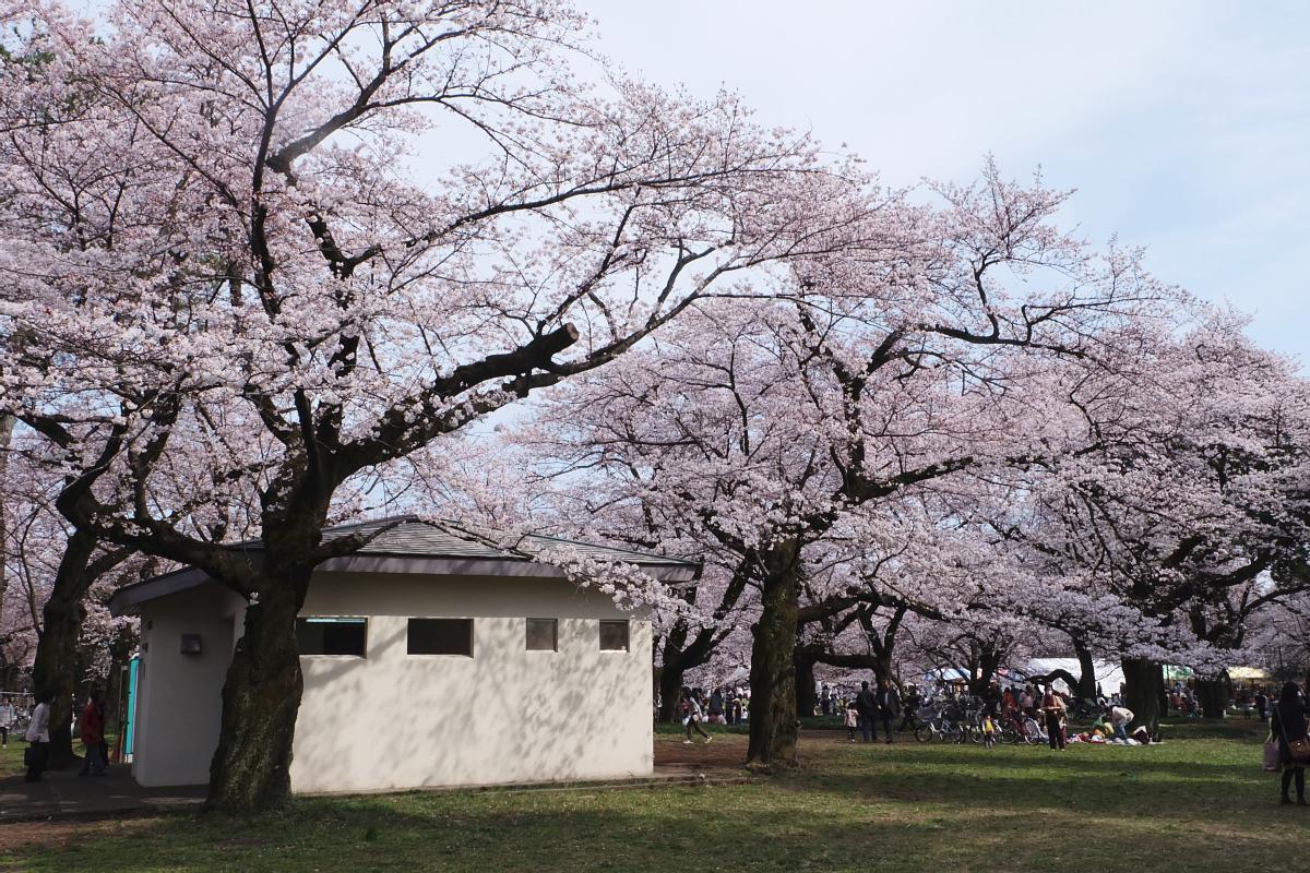 Edo Tokyo Museum Cherry Blossoms 72