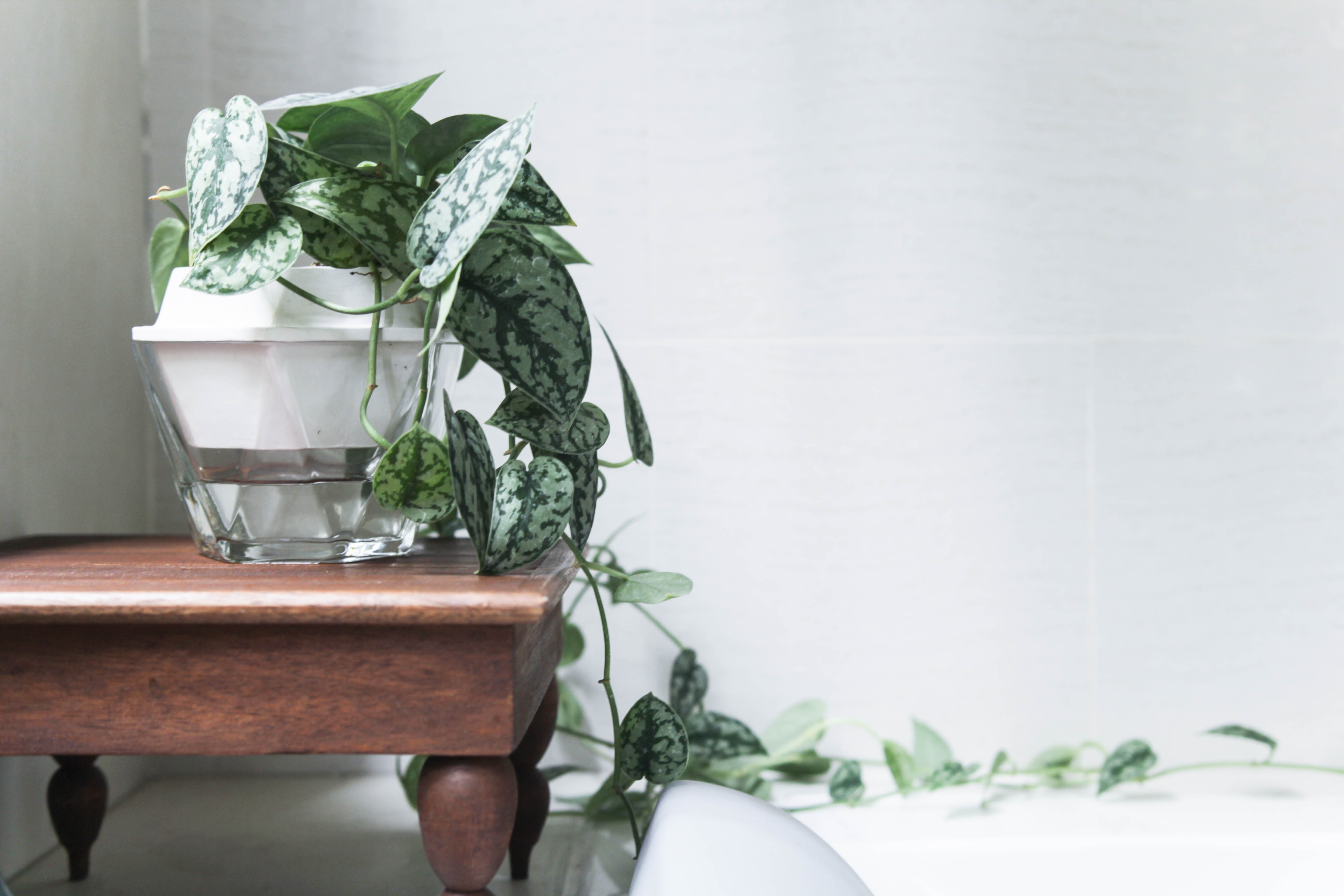 6 Philodendron