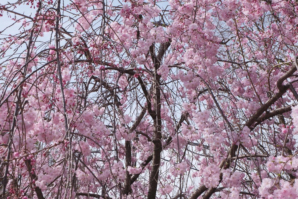 DSCF0972 kyoto sakura cherry blossoms spring 2016