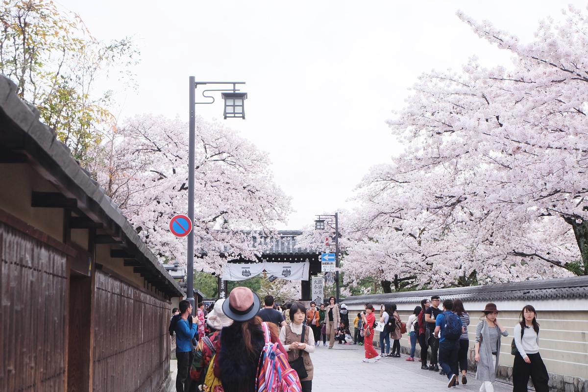 DSCF0988 kyoto sakura cherry blossoms spring 2016