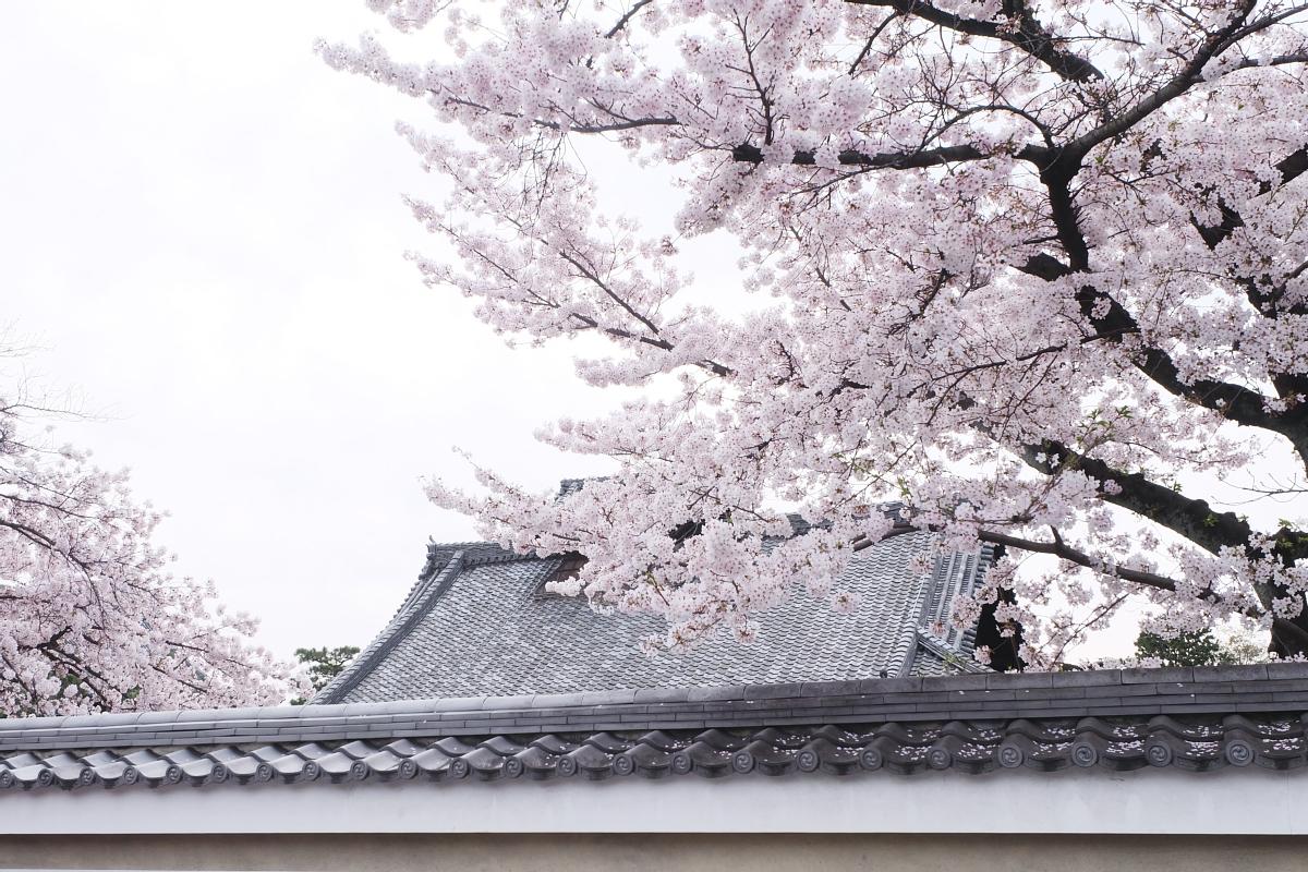 DSCF0991 kyoto sakura cherry blossoms spring 2016