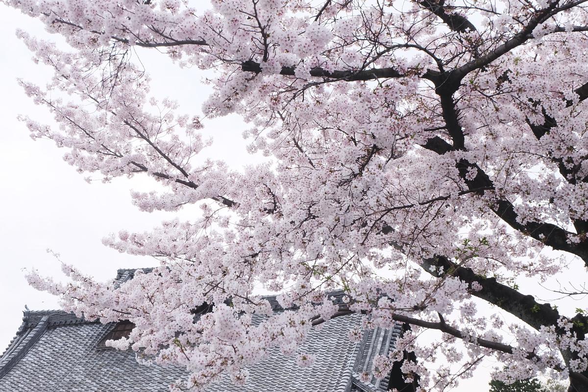 DSCF0992 kyoto sakura cherry blossoms spring 2016