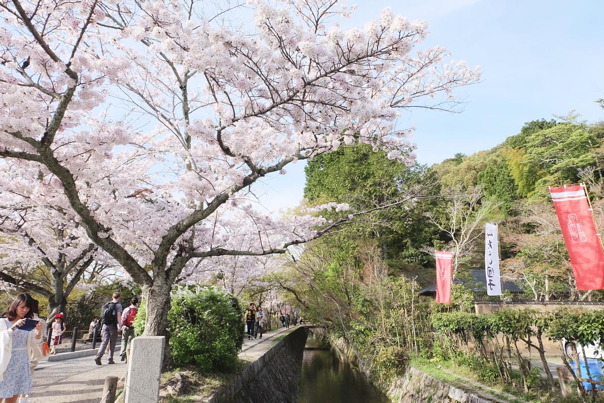 DSCF1004 kyoto sakura cherry blossoms spring 2016
