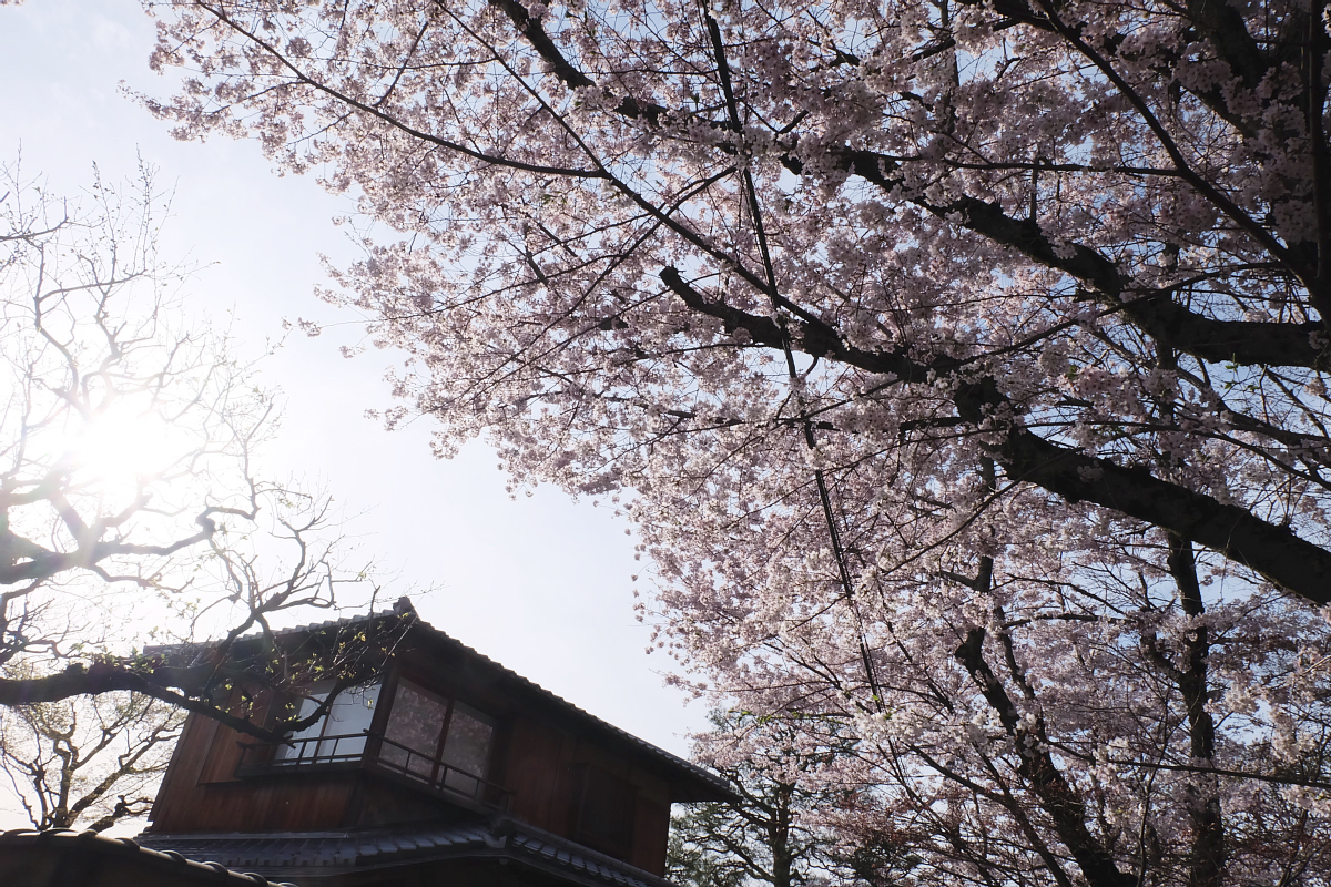 DSCF1013 kyoto sakura cherry blossoms spring 2016