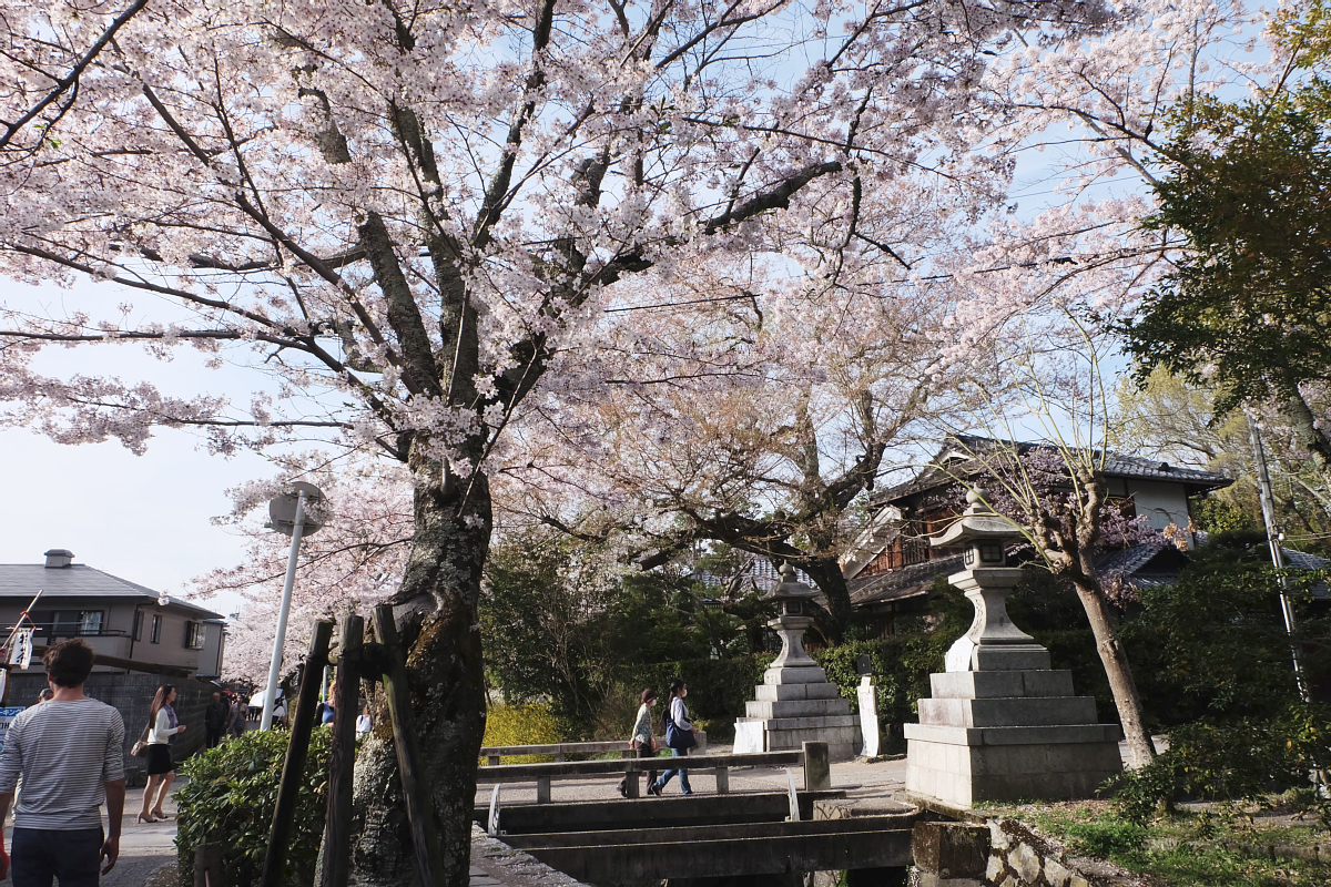 DSCF1014 kyoto sakura cherry blossoms spring 2016