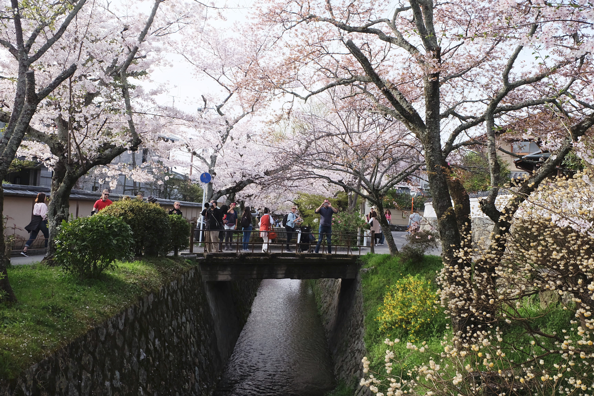 DSCF1016 kyoto sakura cherry blossoms spring 2016