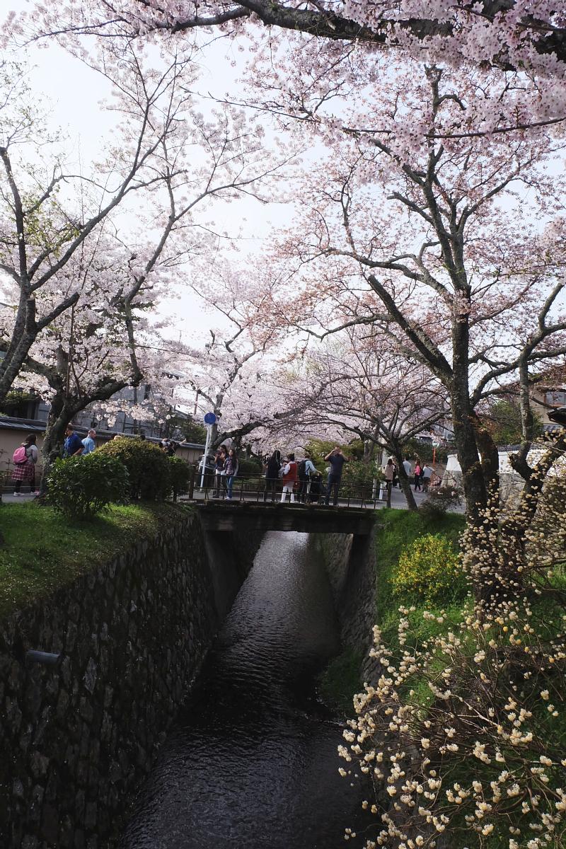 DSCF1017 kyoto sakura cherry blossoms spring 2016