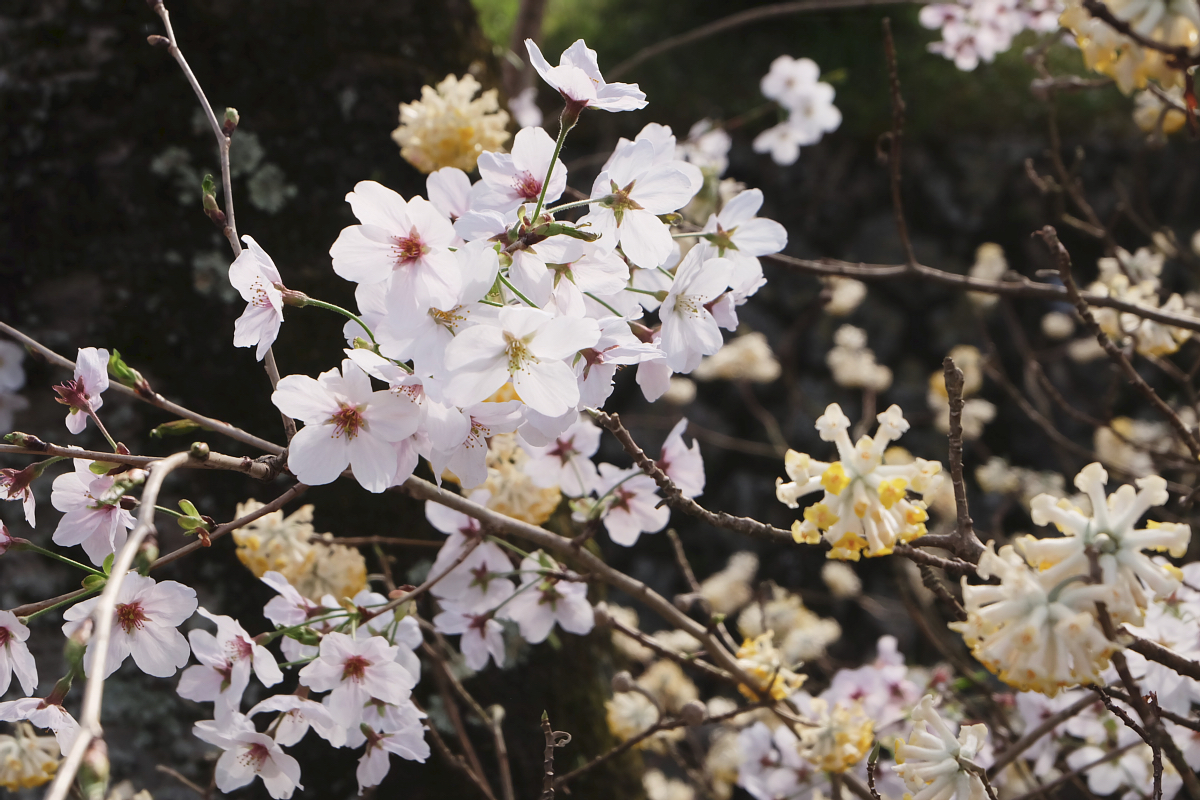 DSCF1019 kyoto sakura cherry blossoms spring 2016