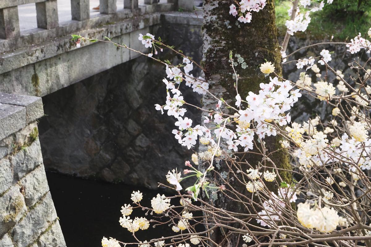 DSCF1020 kyoto sakura cherry blossoms spring 2016