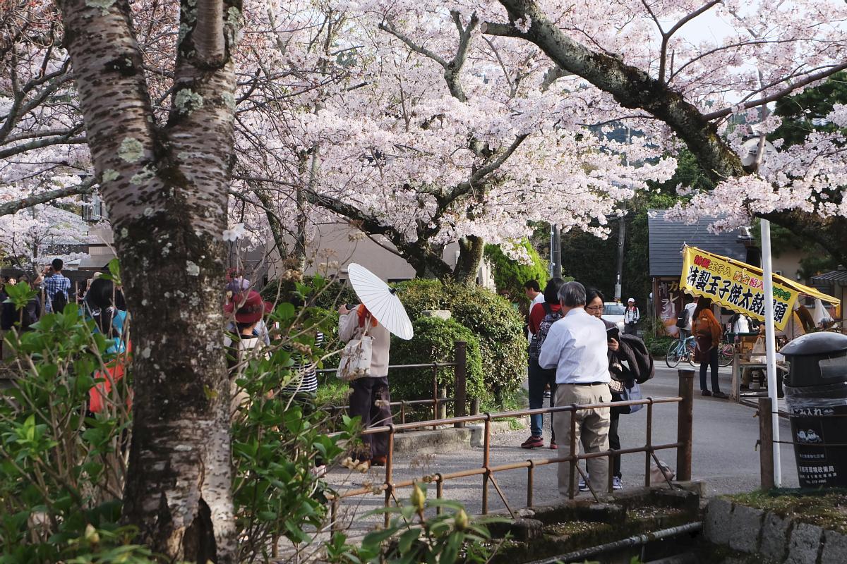 DSCF1024 kyoto sakura cherry blossoms spring 2016