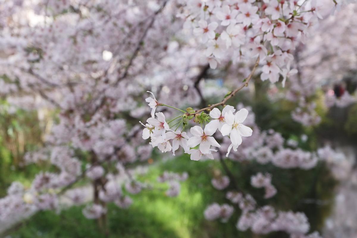 DSCF1035 kyoto sakura cherry blossoms spring 2016