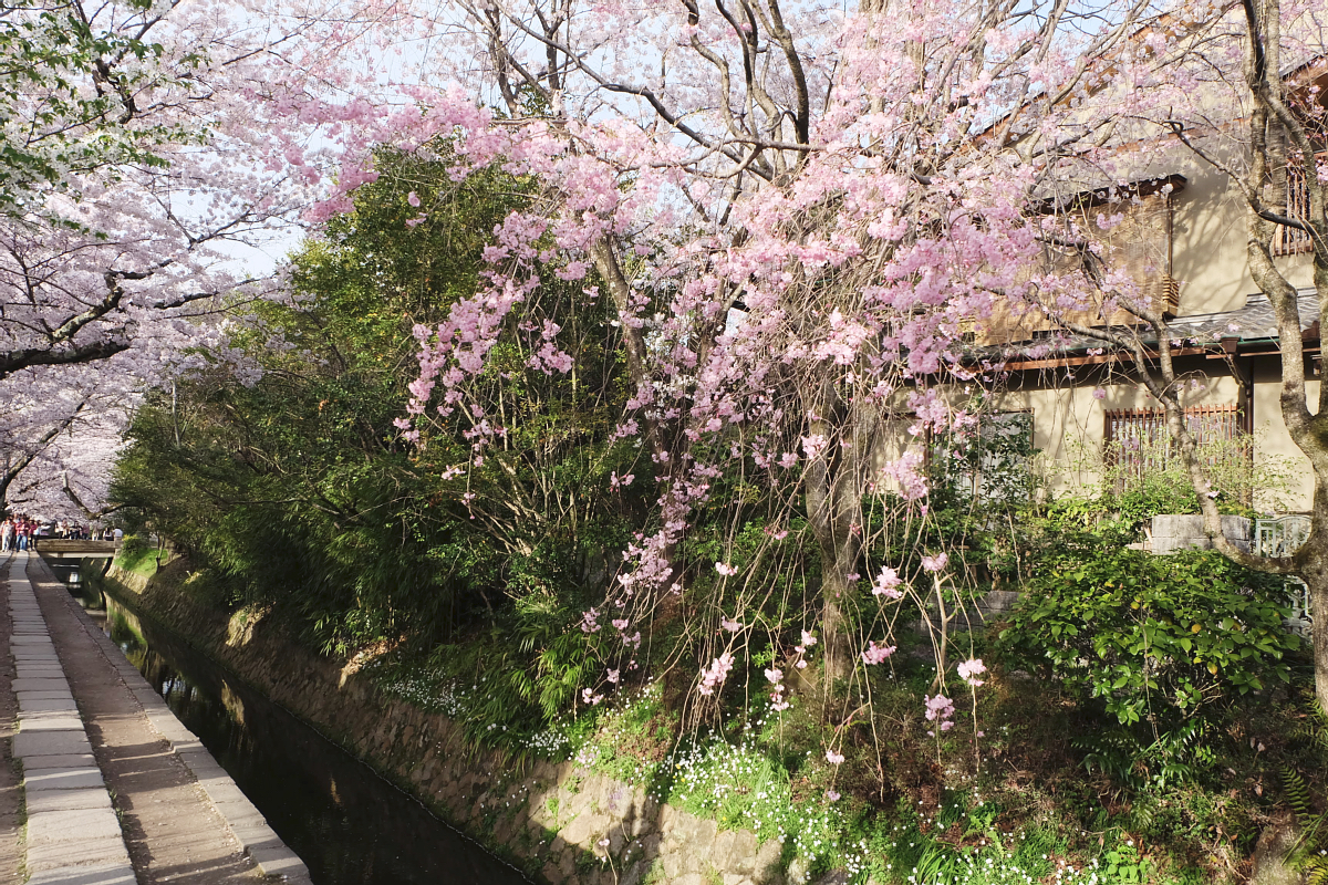 DSCF1038 kyoto sakura cherry blossoms spring 2016