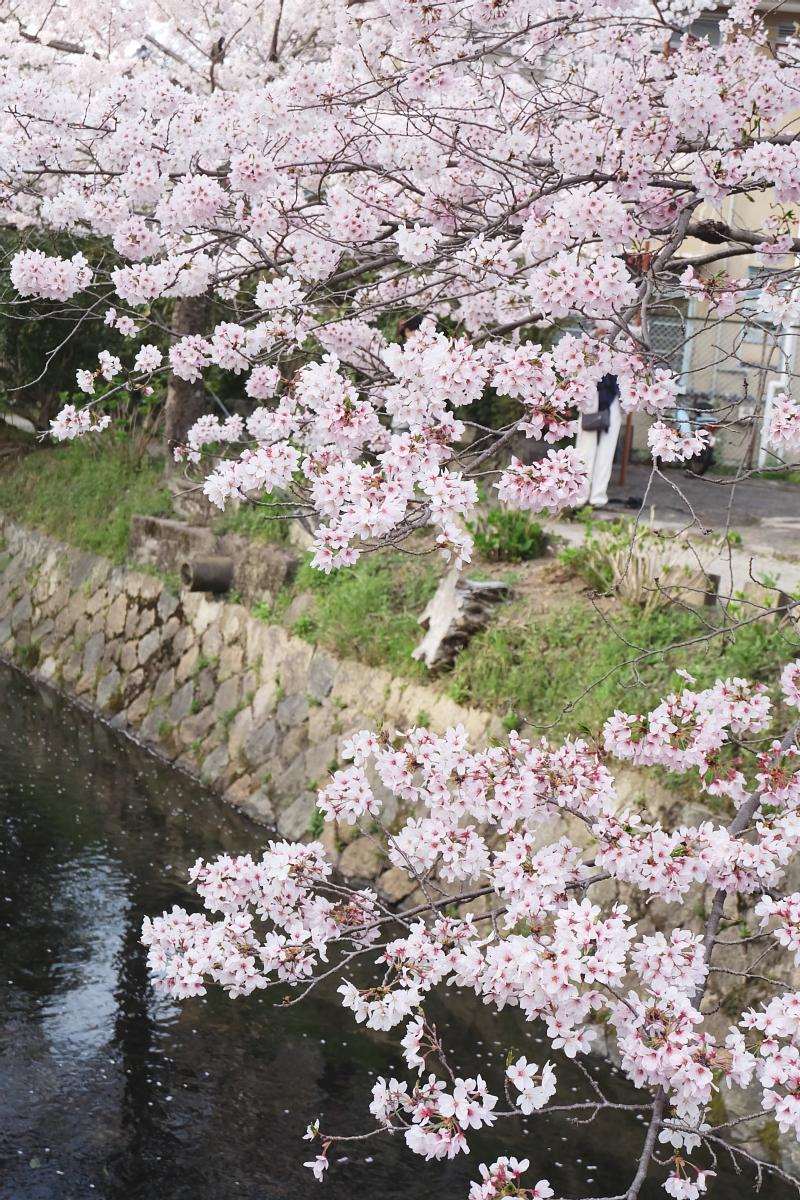 DSCF1048 kyoto sakura cherry blossoms spring 2016