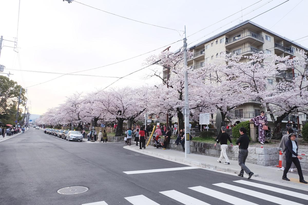 DSCF1063 kyoto sakura cherry blossoms spring 2016