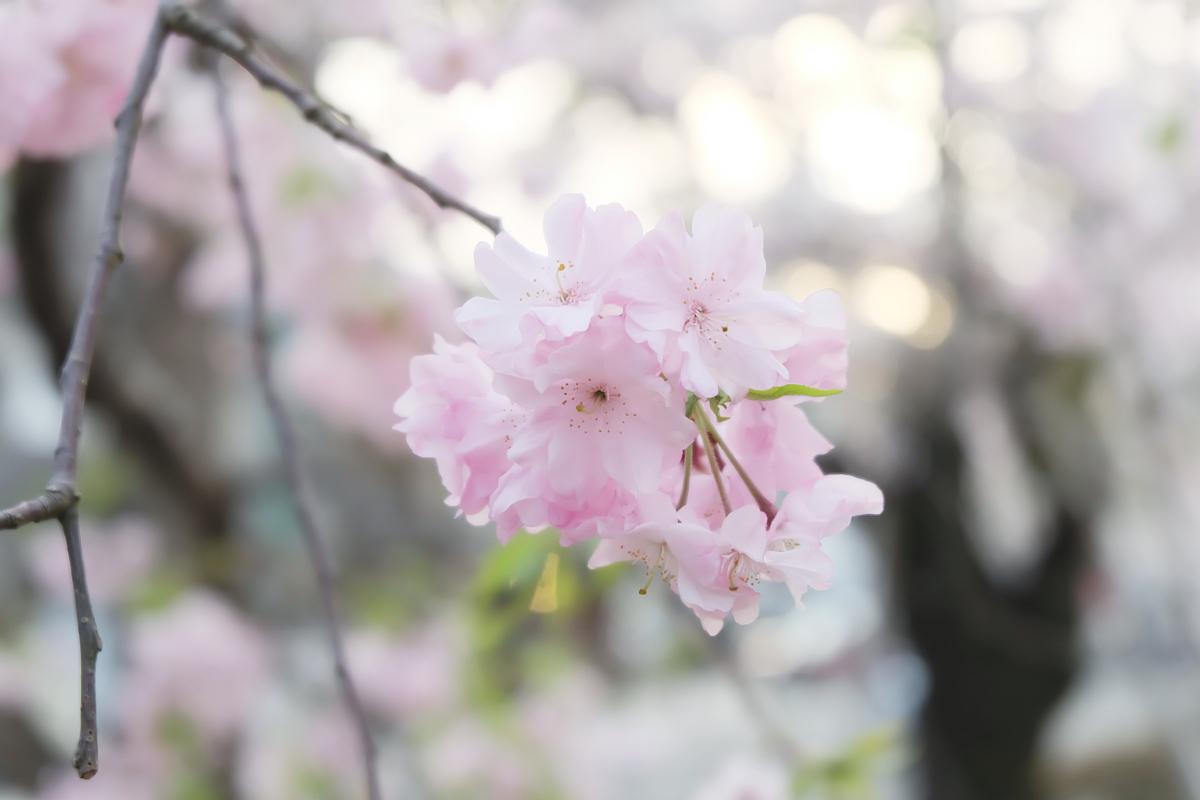 DSCF1074 kyoto sakura cherry blossoms spring 2016