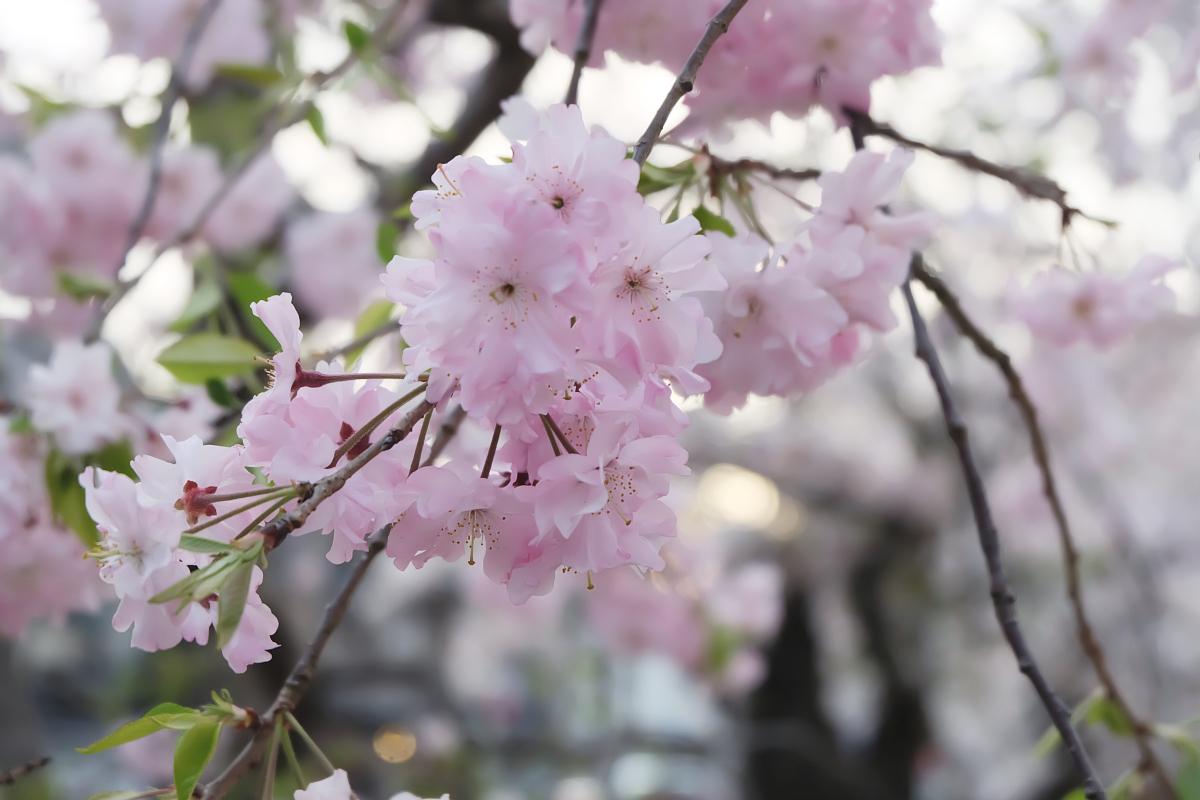 DSCF1076 kyoto sakura cherry blossoms spring 2016