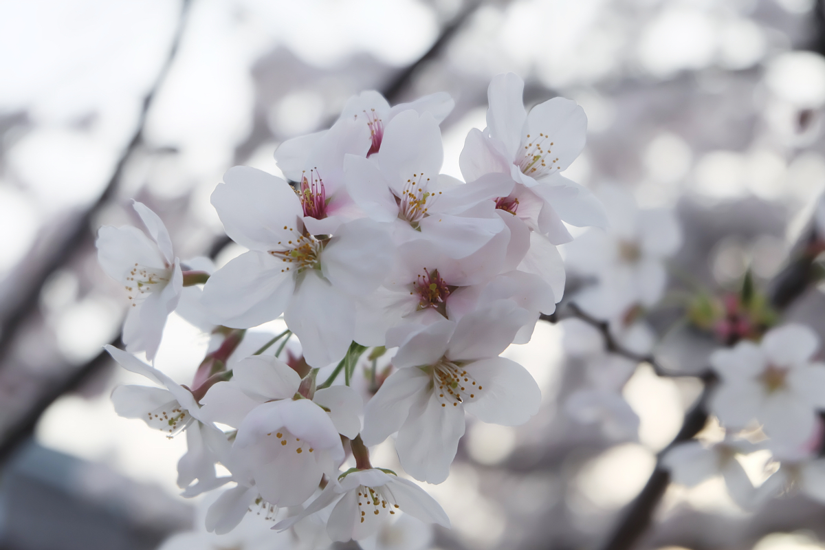 DSCF1078 kyoto sakura cherry blossoms spring 2016
